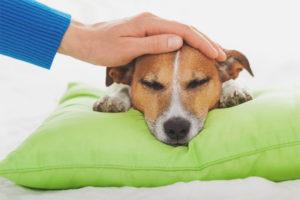 Как понять, что у собаки температура