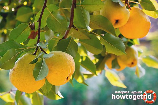 Когда собирать плоды японской айвы