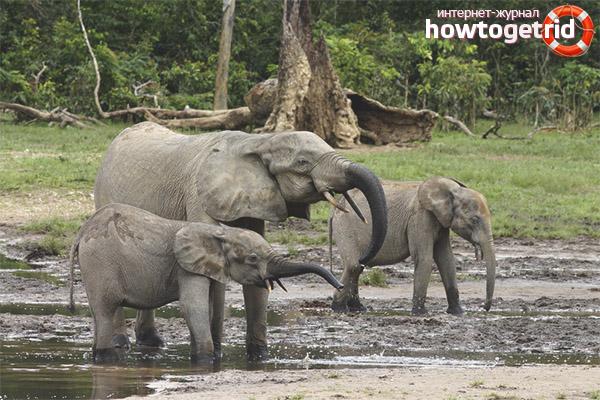 Обитание лесных слонов