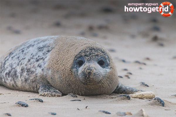Поведение серых тюленей