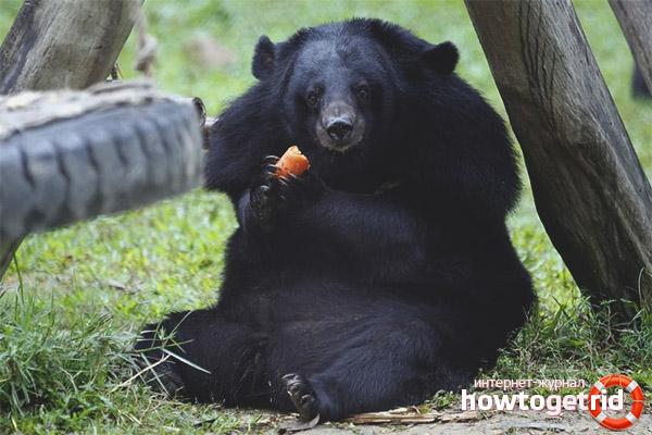Рацион гималайского медведя