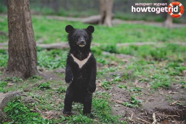 Размножение гималайского медведя
