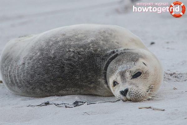 Размножение серых тюленей