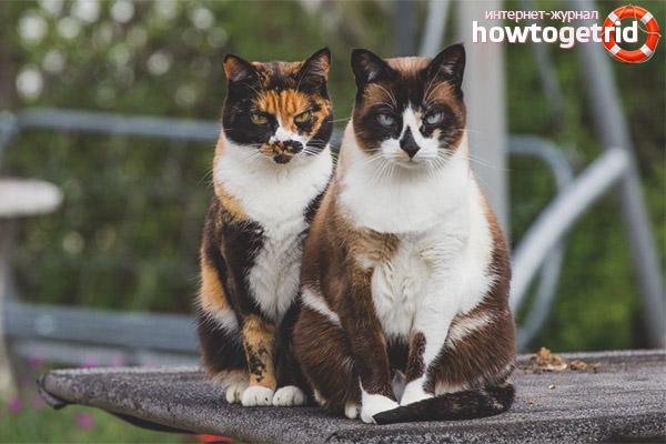Как относятся к трехцветным кошкам в других странах