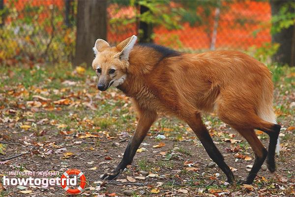 Образ жизни гривистого волка
