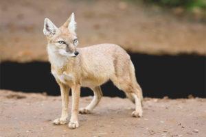 Степная лисица