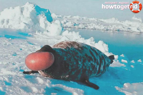 Размножение тюленей хохлача