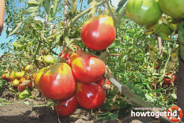 Рекомендации по выращиванию томатов Иван Купала