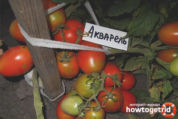 Уход за томатами акварель