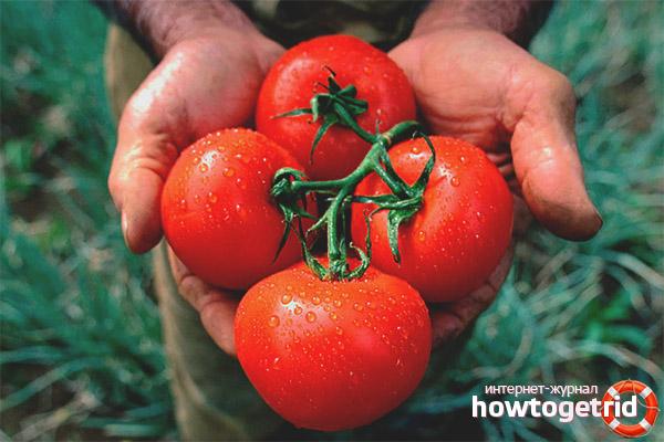 Уход за томатами Альгамбра