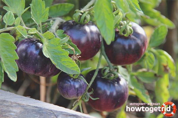 Уход за томатами аметистовая драгоценность