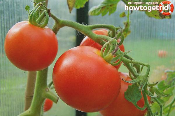 Уход за томатами Дружок
