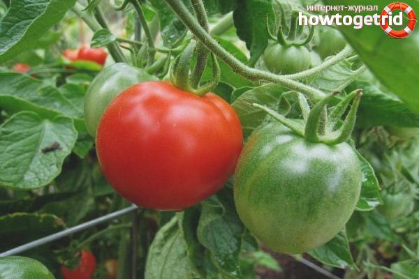 Достоинства сорта томатов Михей