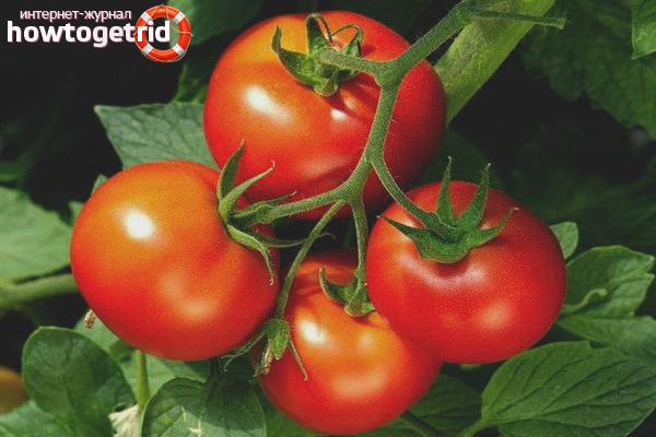 Особенности выращивания томатов Невский