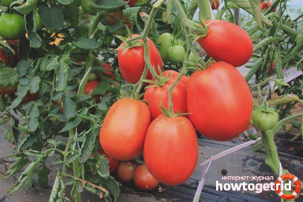 Секреты выращивания томатов Кровавая мэри