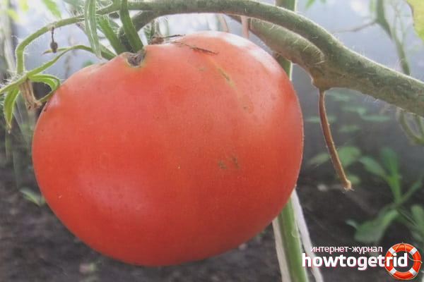 Уход за томатами Маршал победа