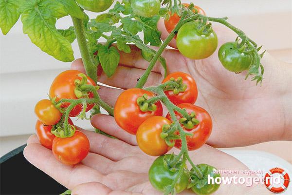 Уход за томатами Минибел