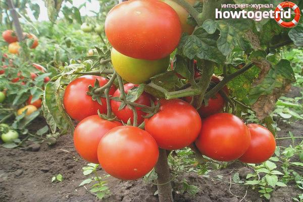 Выращивание томата Марс F1