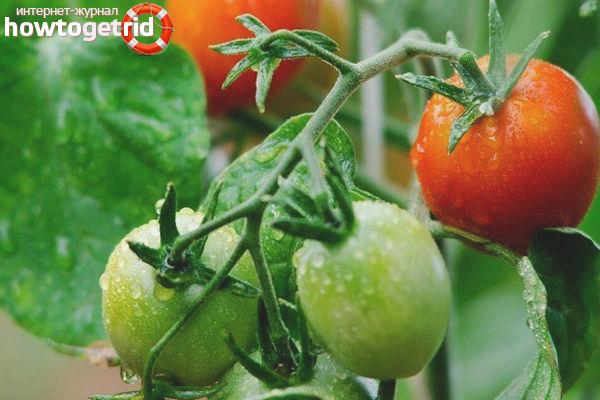 Выращивание томатов Майская роза