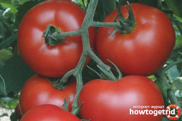 Выращивание томатов Малика F1