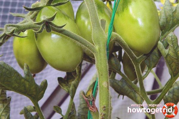 Выращивание томатов Матрешка