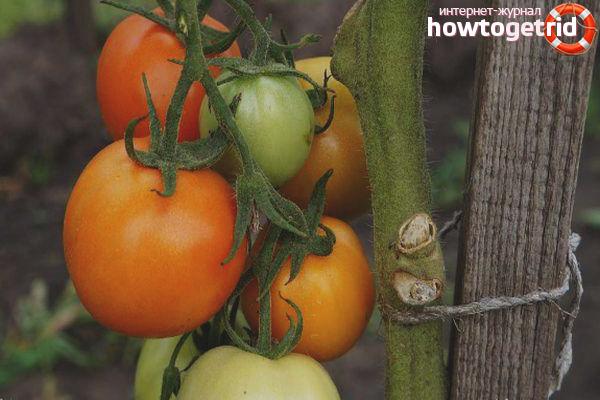 Выращивание томатов Очарование