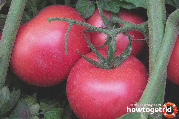 Выращивание томатов Пинк самсон F1