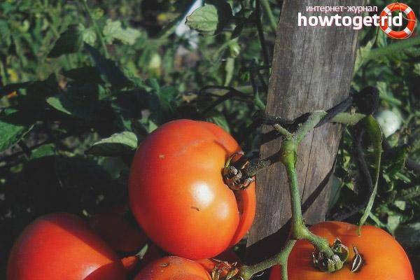 Выращивание томатов Северный экспресс