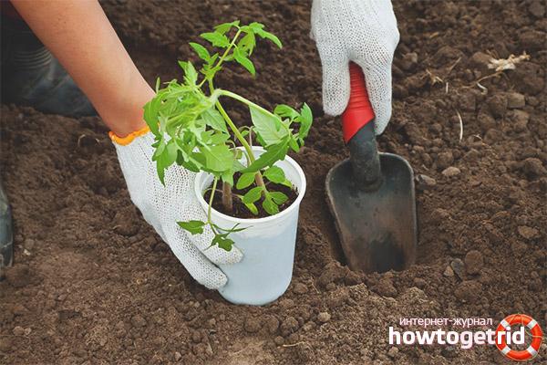 Высадка рассады томатов Манимейкер в грунт