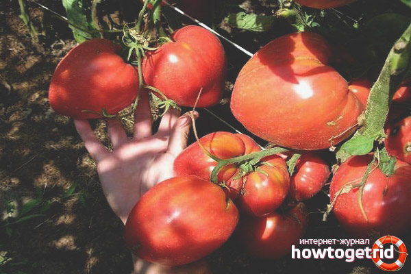 Уход за томатами Чудо Алтая
