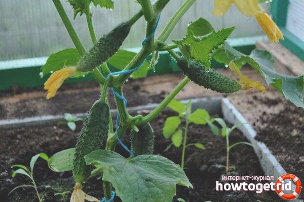 Выращивание огурцов сорта Аристократ F1