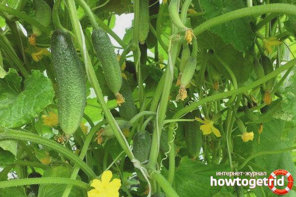 Выращивание огурцов сорта Гармонист F1