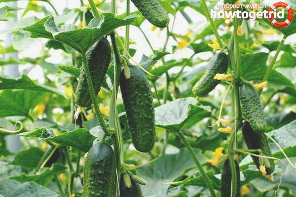 Выращивание огурцов сорта Муравей F1
