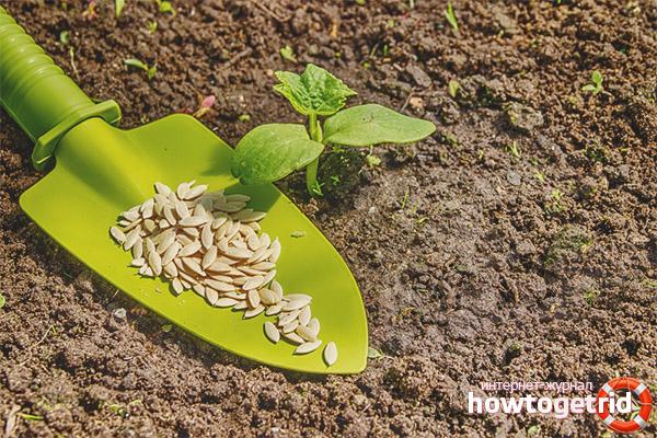 Высадка семян огурцов Вятский F1
