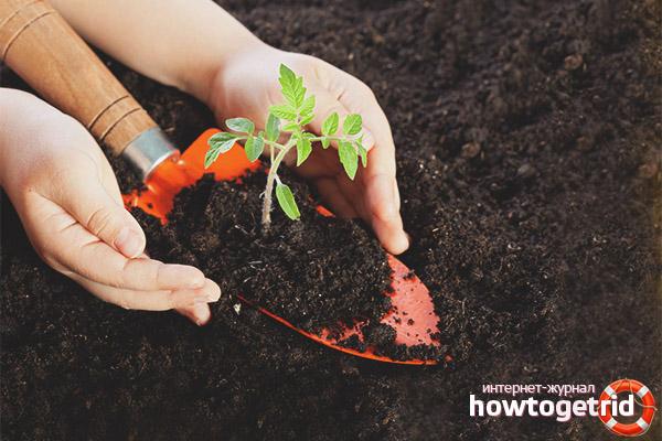 Подготовка почвы для томата Черный ананас