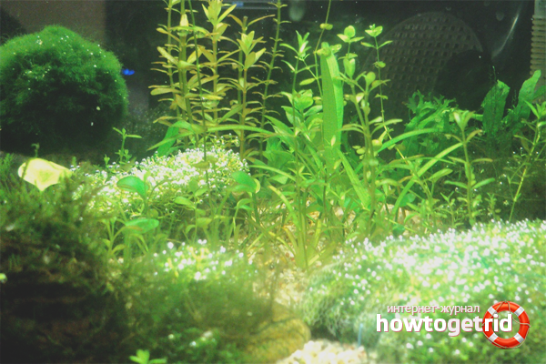 Как избавиться от черных водорослей в аквариуме