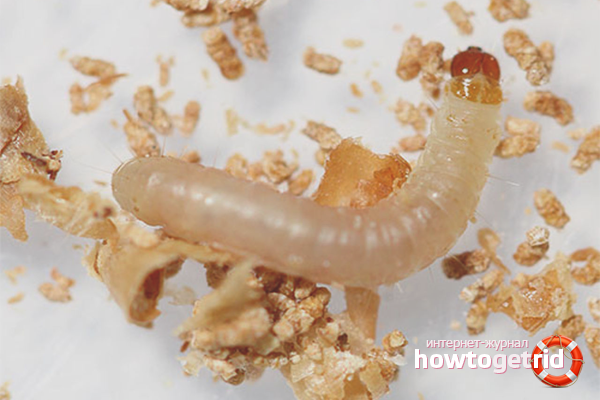 Личинки пищевой моли