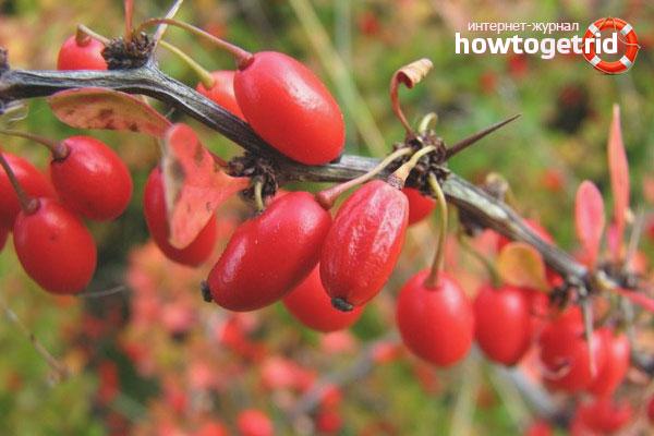Как посадить барбарис