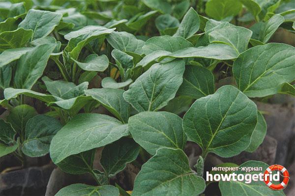 Как вырастить рассаду баклажан