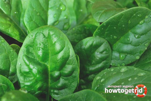 Как вырастить шпинат в огороде