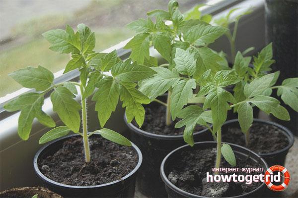 Высадка и уход за рассадой помидор