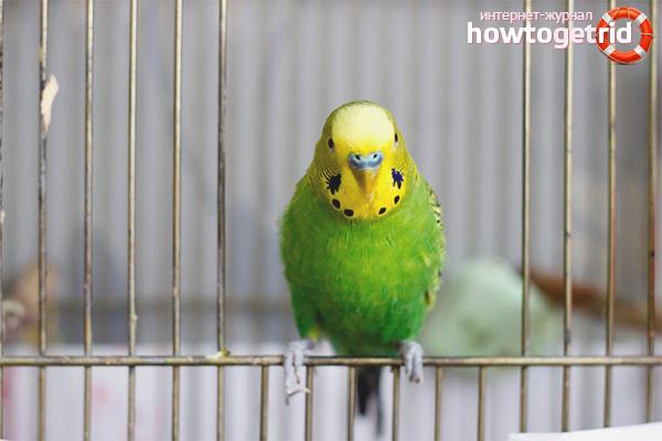 Как приучить попугая к лотку