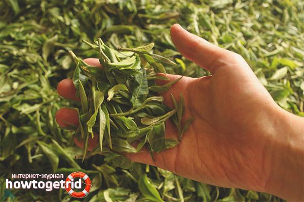 Как собирать урожай чая
