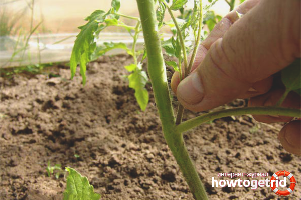 Как пасынковать помидоры