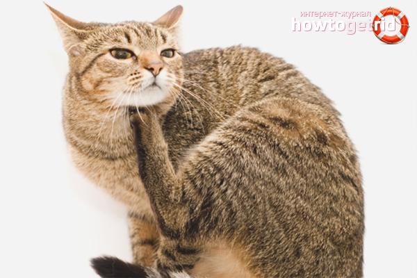 Как вывести блох у кошки народными методами