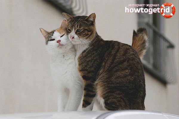 Кот в поисках партнера