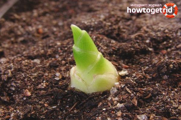 Технология выращивания имбиря
