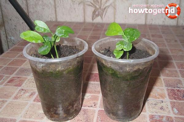 Уход за цитрусовыми ростками