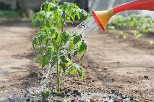Как часто поливать рассаду помидор