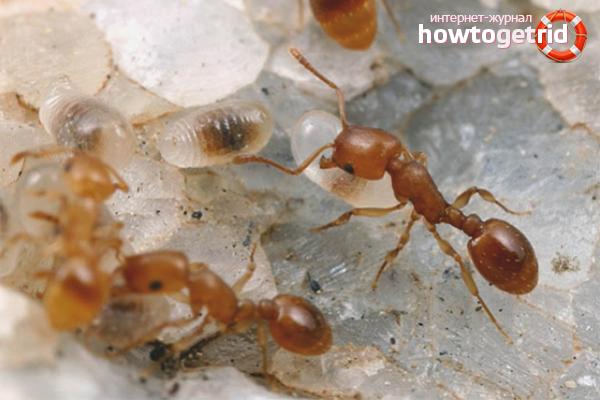 Как выгнать рыжих муравьев из дома